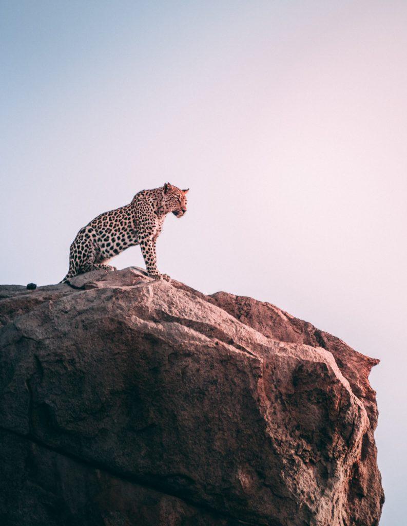 【動物占い徹底解説!】チーターと相性が良いのはどの動物!? | 恋愛 | 結婚 | 片思い - 占いの森